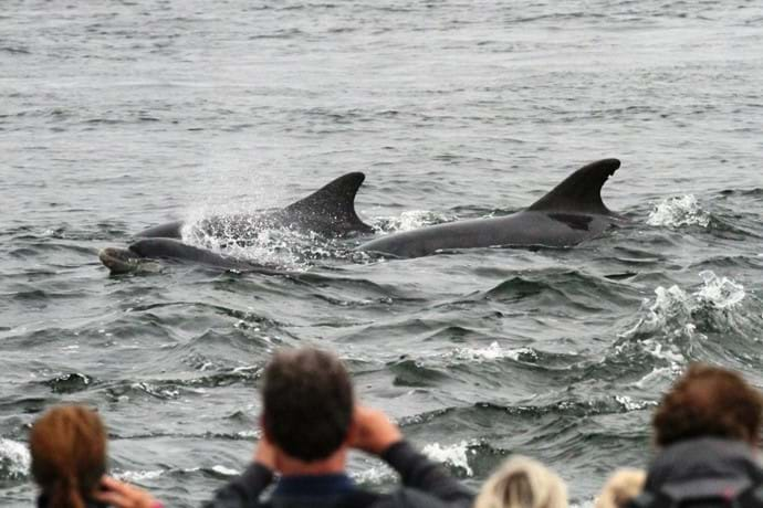 Bottlenose dolphins watched from the shore at Chanonry Point