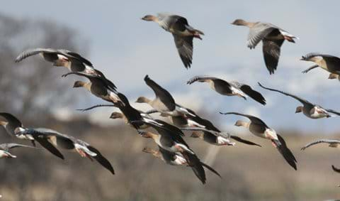 pink footed geese arriving to overwinter