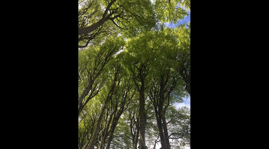 Tall sycamores