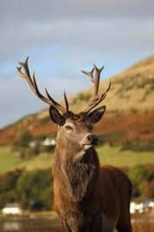 A proud stag