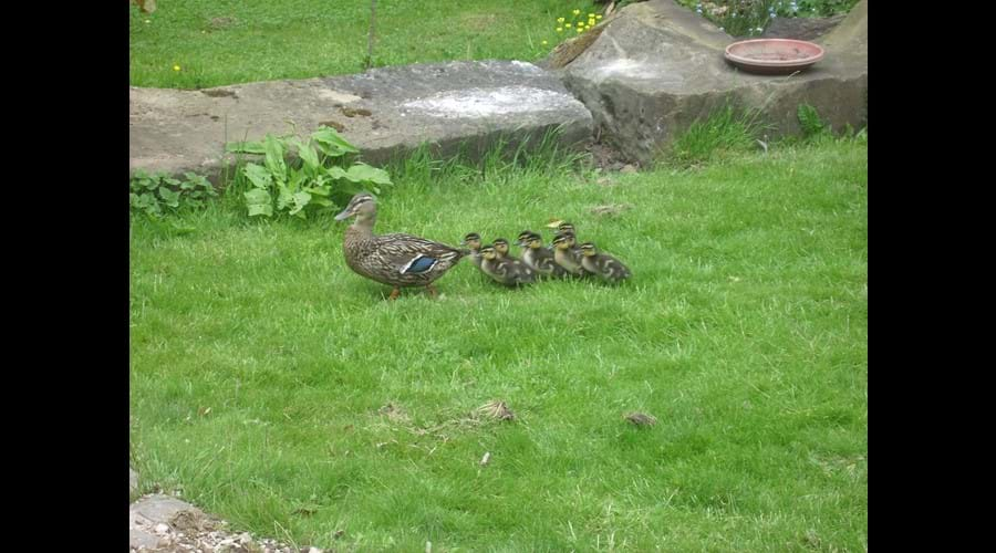 Mum and chicks in Rose Cottage garden!