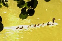 Baby Ducklings in Lake