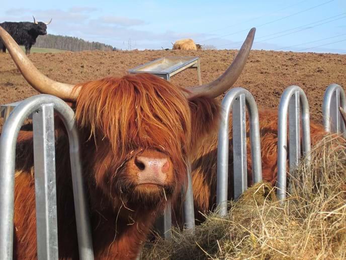 Highland cow enjoying lunch