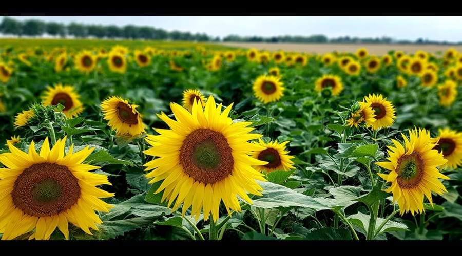 What fabulous sunflowers!