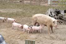 The little piggies at Quarr Abbey.  Nice place on your way to the ferry at Fishbourne.