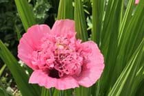 A beautiful pink Poppy has come out to say hello!