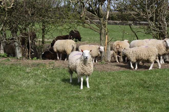 The Rectory Sheep
