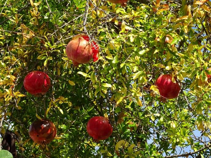 Oct 2017 - The beginning of winter is marked by the ripening of the pomegranates. It indicates that it is time for Persephone to return to her husband, Hades, king of the underworld.