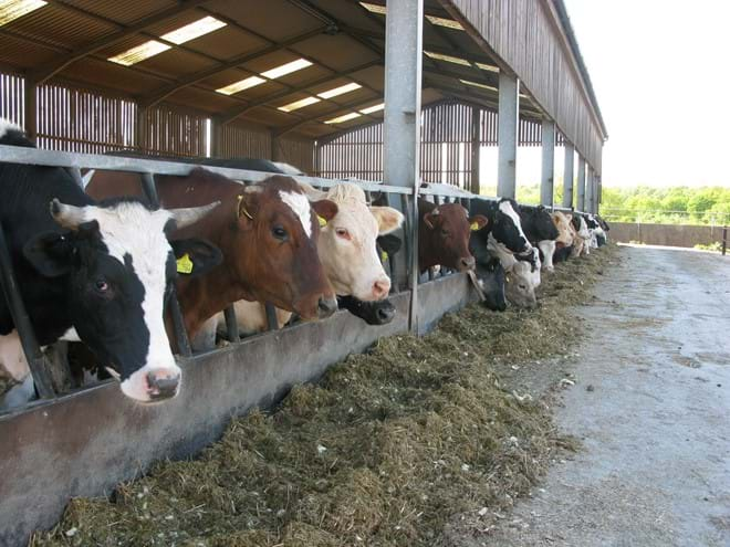 Indoor Housing of cattle in winter on Stocken Hall Farm, Rutland