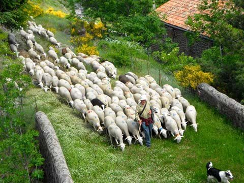 Herds converge here from all around, pouring down the mountains like milk! Gîte South of France walking wildlife holiday cevennes