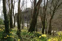 Welsh Daffodils in our Wood