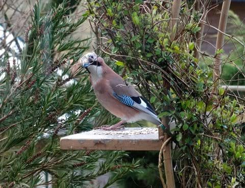 Beautiful Jay