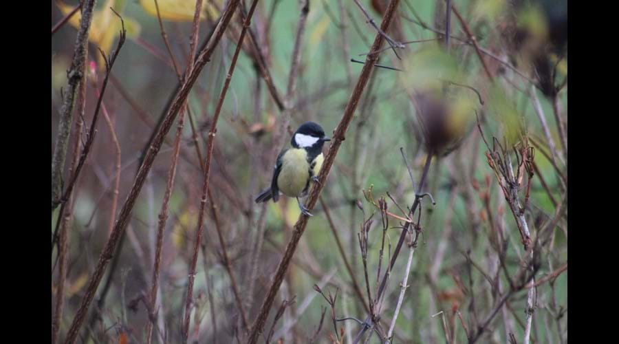 Great Tit in garden