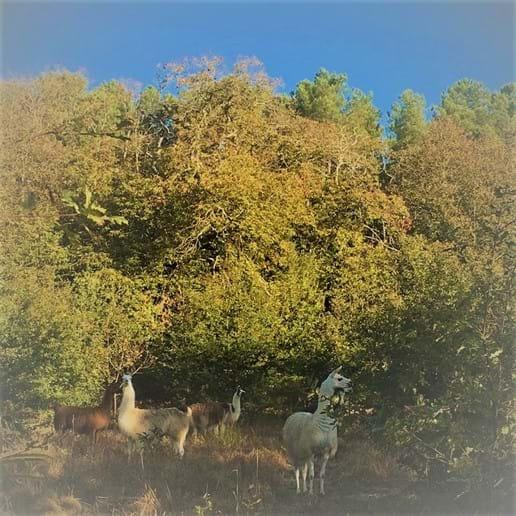 Our herd of Llamas