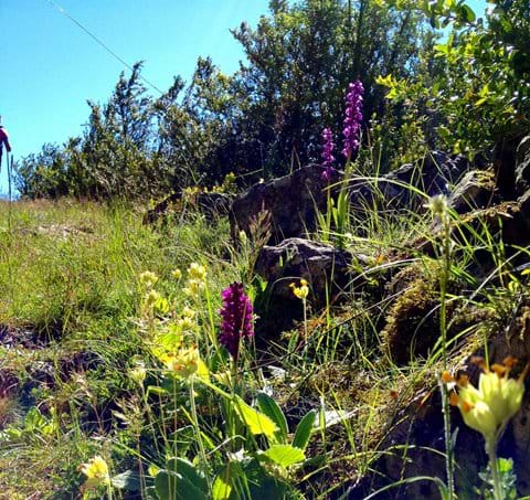 Orchids in Cevennes gite holiday