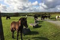 Ponies roaming wild on Bodmin Moor