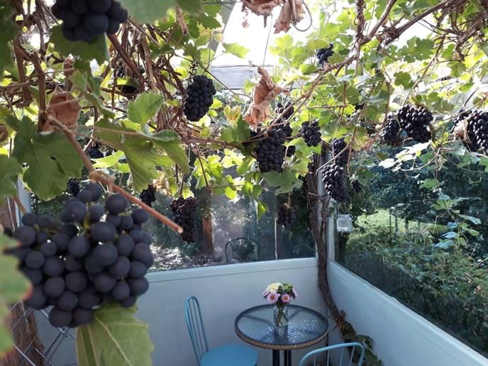 A late summer crop of grapes at the cottage