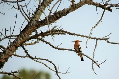 Eurasian Hoopoe - see from the terrace at El Parral.