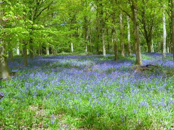 A little further away near Shipston on Stour, you can walk through this lovely bluebell wood