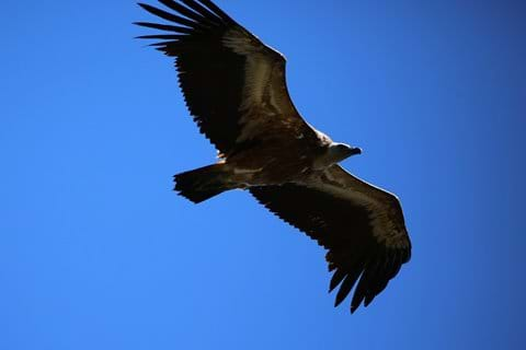 Griffon Vulture - Seen in the mountains of the Valencia area