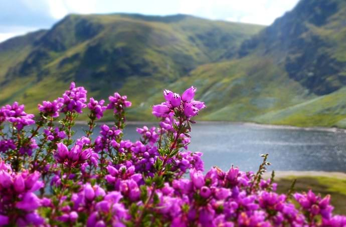 Purple Heather - Loch Morar