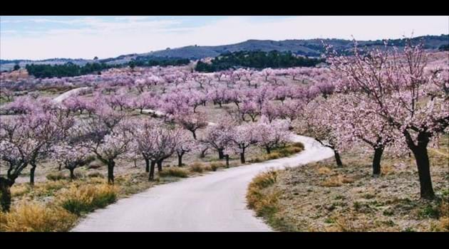 a winding track to Mimosa lined with almond trees in pink blossom
