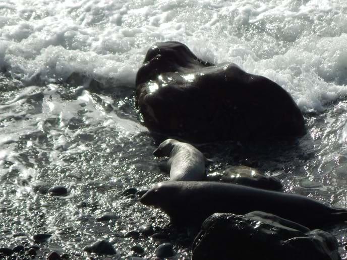 Seal pups at Marloes