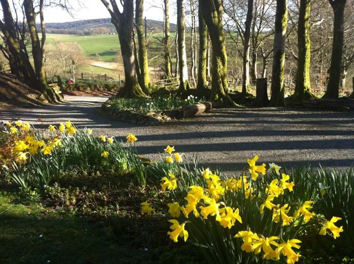 Daffodils above the car park