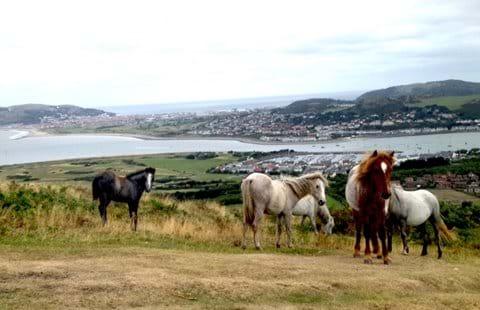 Wild Carneddau ponies Conwy mountain