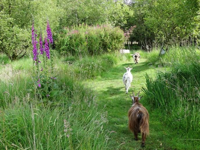 3 pygmy goats following one of the woodland paths