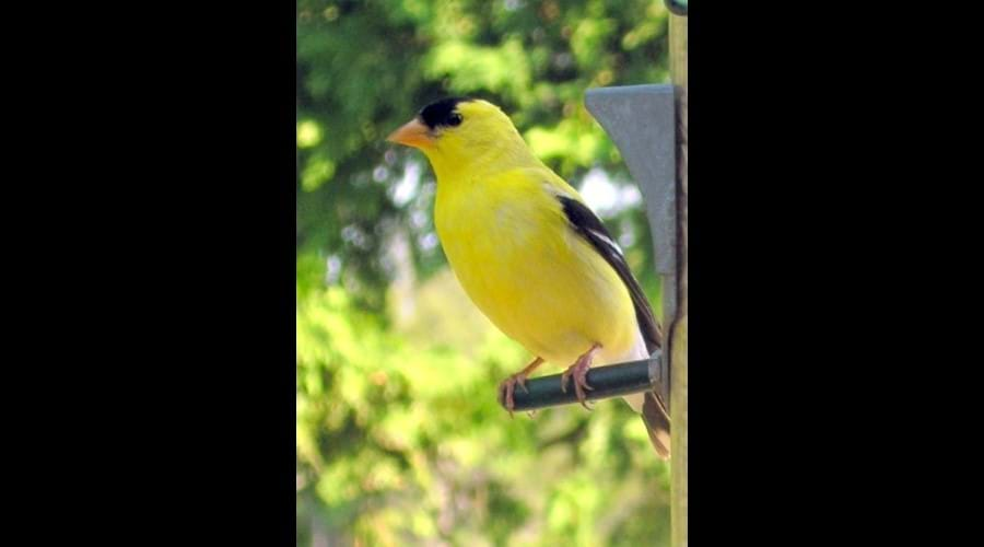 The Goldfinch is a frequent visitor to the bird feeder. This one is a male. This picture was taken by a guest staying at the cottage. Its a beautiful photo graph. It was rated the best picture submitted that year.