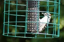 A Downy Woodpecker can be a regular visitor to the feeders