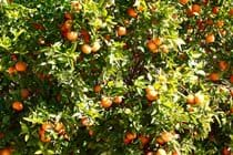 Your own oranges trees in El Parral