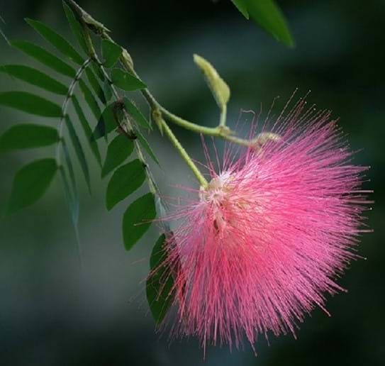 Albizia or Silk Mimosa flower - hence the name