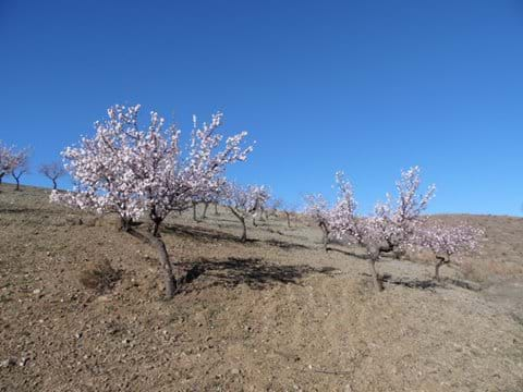 Almond Blossom in and around El Puertecico.