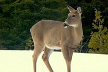 White-tail deer are often seen near the cottage during the winter and early spring