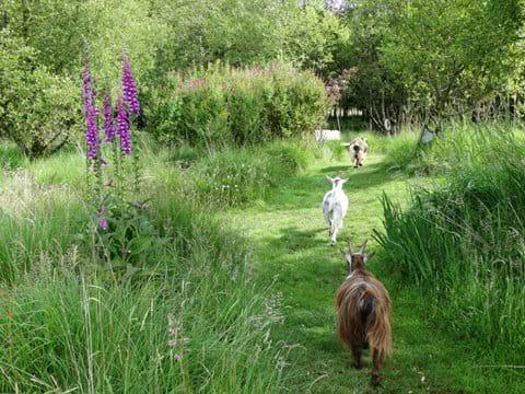 Woodland walk with pygmy goats