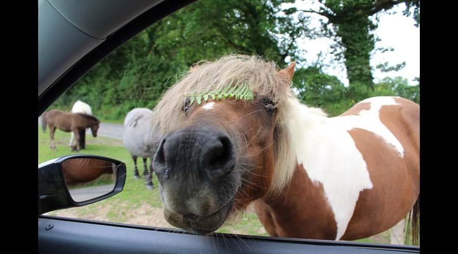 Meet a Dartmoor Pony