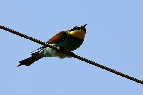 Bee-eaters - Large flocks were seen regularly from the villa in September.