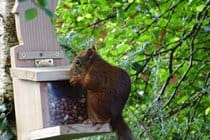 Enjoy feeding the red squirrels who visit the garden each day
