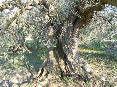 Ancient olive tree, Bize-Minervois