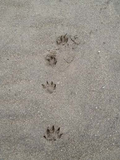 Scottie paw prints in the sand