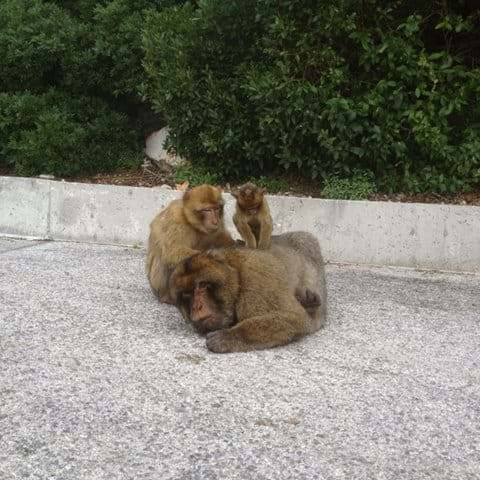 Barbary Apes in Gibraltar