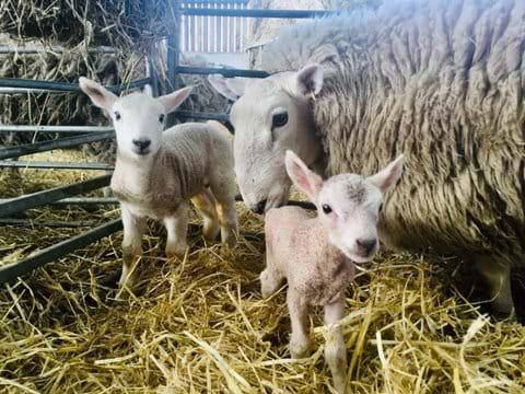 Lambs at Hirstys