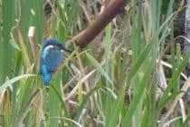 kingfisher at the lakes