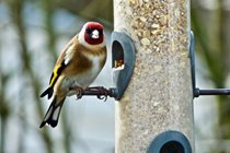 We have many feathered visitors to Winllan, here is a goldfinch