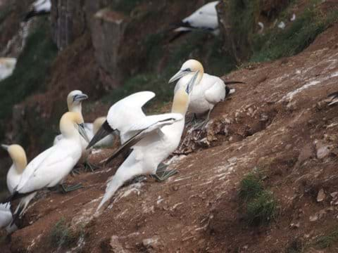 Gannets at Troup head