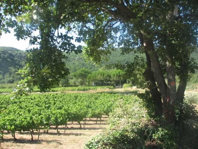 Vineyards near Bonnieux