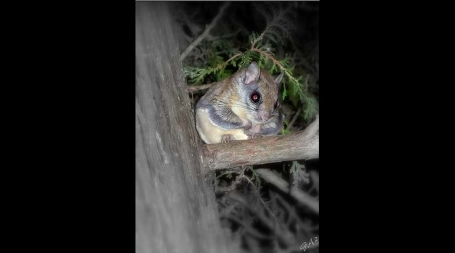 This is a flying squirrel. They can be regular visitors at the bird-feeders in the evening.