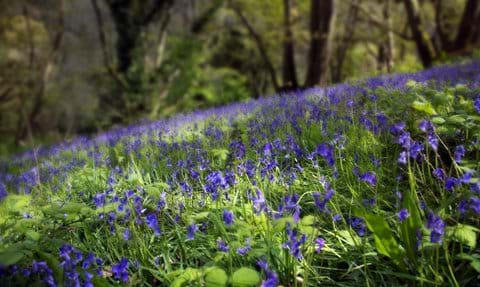 A wave of sunlit bluebells in a wood on the Arlington Court Estate in North Devon